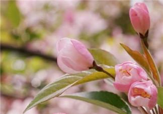 看樱花的心情说说朋友圈 赞美樱花的优美句子