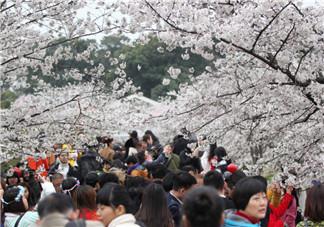 赏樱花人太多的说说句子 看樱花看人海的心情说说朋友圈