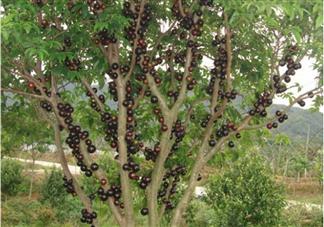 树葡萄孕妇可以吃吗 孕妇每天可以吃多少树葡萄