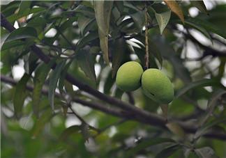 路边绿化芒果为什么不能吃 严重会影响到智力发育