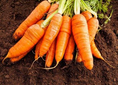 胡萝卜吃多了不来月经是真的吗 备孕期间胡萝卜怎么吃比较好