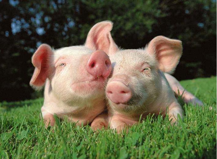 郑州口蹄疫疫情怎么回事 郑州惠济区猪O型口蹄疫疫情扑杀173头猪