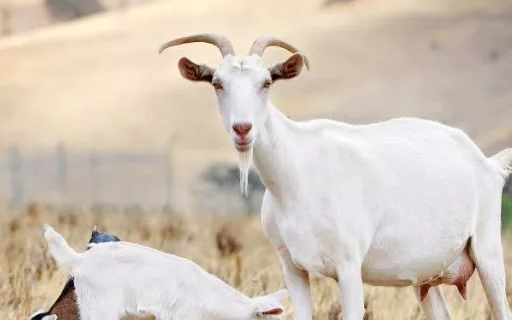 动物奶汁里面哪种营养最高 给宝宝选择羊奶粉好吗