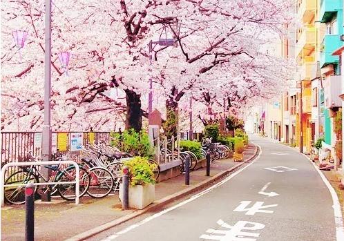 形容春天赏樱花的心情说说 春天赏樱花心情感慨句子