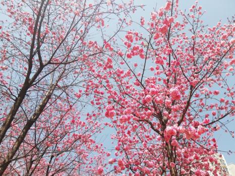 【樱花开了的朋友圈说说】樱花开了的朋友圈说说 关于樱花唯美句子简短怎么发