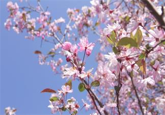 观赏樱花心情感想 樱花超级好看图片大全