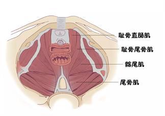 盆底肌有哪些作用 产后有必要修复盆底肌吗