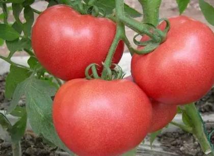 孕妇可以吃西红柿吗 孕妇吃西红柿对胎儿好吗