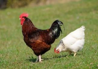 产后下奶吃公鸡还是母鸡好 产后吃什么下奶