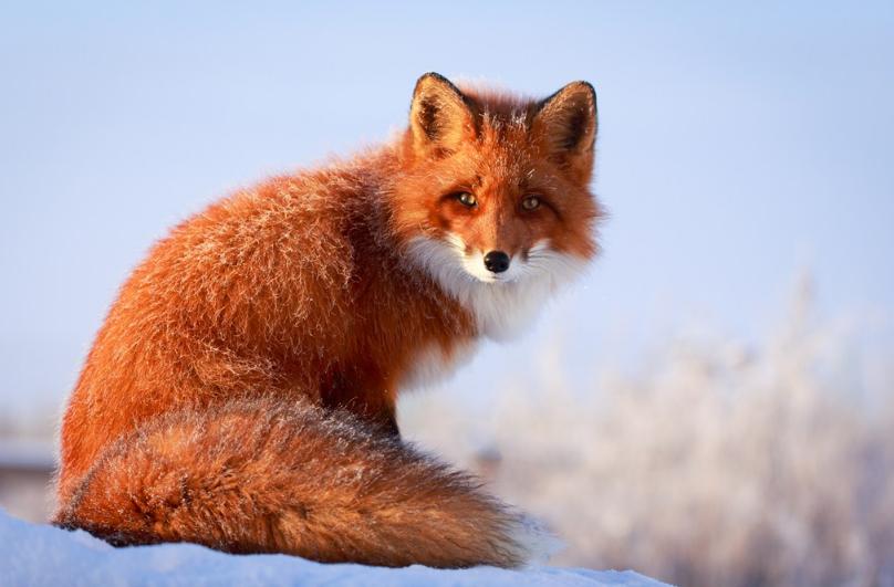 学龄前宝宝睡前故事 见不到白狐狸