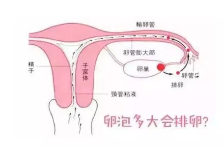 卵泡发育会影响怀孕吗 备孕吃什么促进卵泡生长