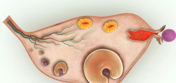 排卵期不受孕的原因有哪些 排卵期不受孕是怎么回事