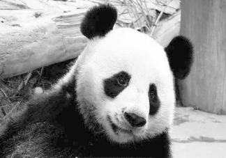 旅泰大熊猫创创死亡结果通报 熊猫创创死亡的原因是什么
