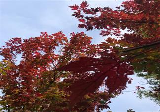 秋天枫叶说说心情短语 秋天看枫叶的心情说说朋友圈