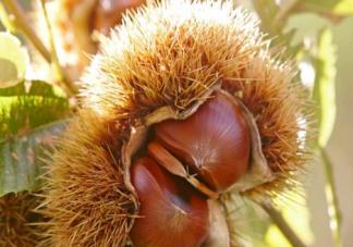 秋季吃板栗会上火吗 板栗怎么吃会更有营养