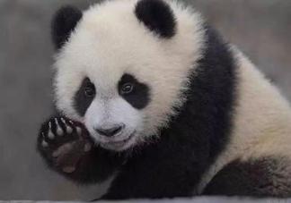 熊猫是有几根手指 关于大熊猫的冷知识分享