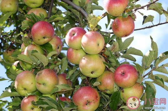 气候变化会使苹果变味吗 气候变化对食物的影响