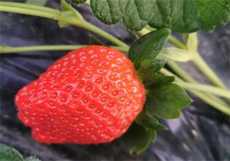 朋友圈晒吃草莓的说说 朋友圈草草莓发什么句子