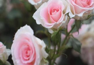 一天上百万支玫瑰被销毁是怎么回事 疫情对玫瑰花的销量有什么影响