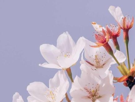 2020赏樱花的朋友圈文案 看樱花怎么发朋友圈