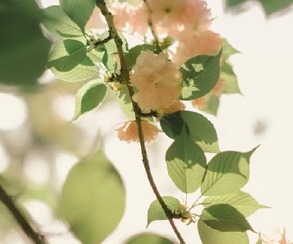 2020赏樱花心情好的说说 看樱花心情快乐的句子