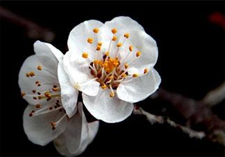 关于杏花开了的心情说说 形容杏花的优美文案说说