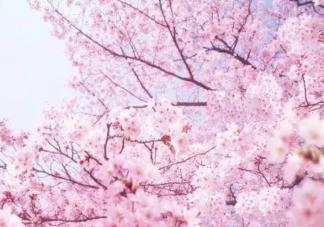 踩着天边云霞下一句是什么歌 樱花树下的重逢完整歌词介绍