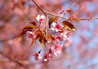 樱花和樱桃的关系是什么 樱花谢了会结樱桃吗