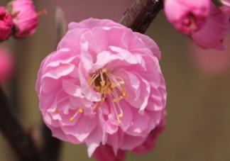 榆叶梅是一种什么植物呢  榆叶梅有什么作用呢