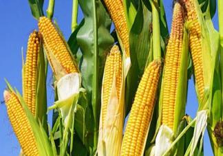 玉米热量高为什么还减肥  晚上吃一根玉米会胖吗
