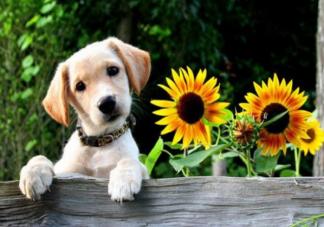 夏天要怎么给狗狗避暑 可不可以给狗狗剃毛降温