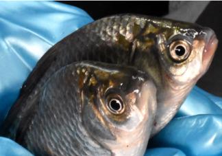 鱼肚子里的黑膜可以吃吗 鱼肚子里的黑膜怎么去掉