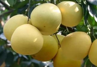 孕妇吃柚子的好处及注意事项 孕妇吃柚子跟石榴比较哪个好
