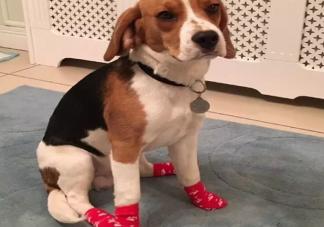 怎么给狗狗穿鞋子 给狗狗穿鞋子需要穿袜子吗