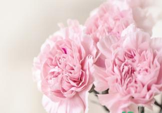 花店买的康乃馨能不能拿到家就换盆  买回来的康乃馨盆栽怎么养