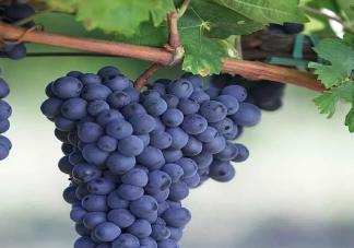 孕妇吃葡萄有哪些好处 孕妇吃葡萄要注意什么