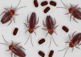 如何治蟑螂最有效的方法是什么  怎么样可以根除蟑螂