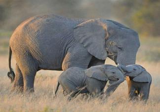 2020世界大象日是几月几日 保护大象的宣传标语大全