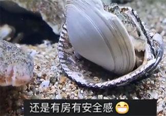 章鱼拆贝壳当房门求安全感是怎么回事 章鱼为什么没有安全感