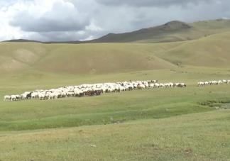 蒙古国捐赠的首批活羊22日入境是真的吗 蒙古国羊肉好吃吗
