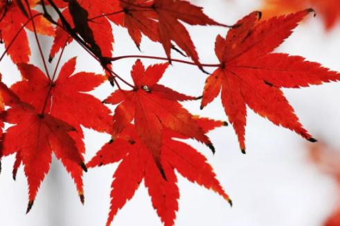 描写枫叶的古诗词有哪些 秋天关于枫叶的古诗词大全