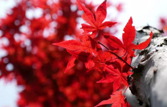关于秋天枫叶的唯美句子 赞美枫叶漂亮的说说句子