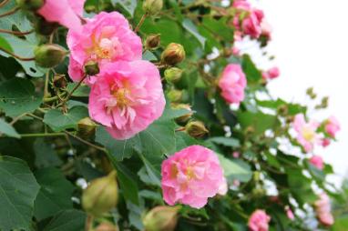 一日三变色的花是什么 木芙蓉为何能一日三变色