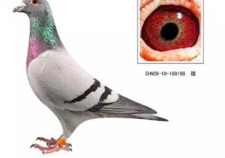 世界最贵赛鸽被拍出1030万是真的吗 信鸽脚上有2个环表示什么
