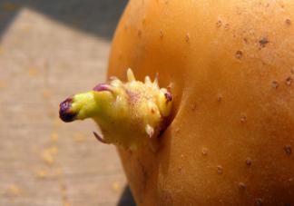 哪些食物发芽之后不能吃 食物发芽正常吗