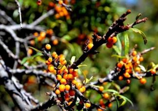 沙棘和猕猴桃的维生素C含量哪一个更高 支付宝蚂蚁庄园1月22日文问题答案