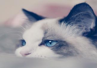新手最适合养哪种猫 哪种猫体质最好
