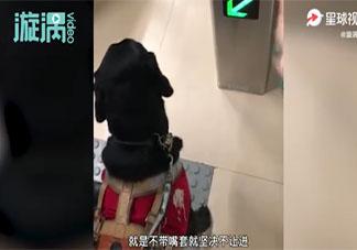 导盲犬使用公共交通该不该戴嘴罩 给导盲犬戴嘴罩会有什么影响