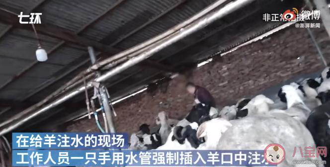【万爱娱】屠宰场给活羊灌水后宰杀是怎么回事 怎么看是不是注水羊肉