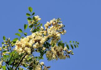 洋槐和国槐哪种槐树的花朵是可以吃的 洋槐花怎么做好吃